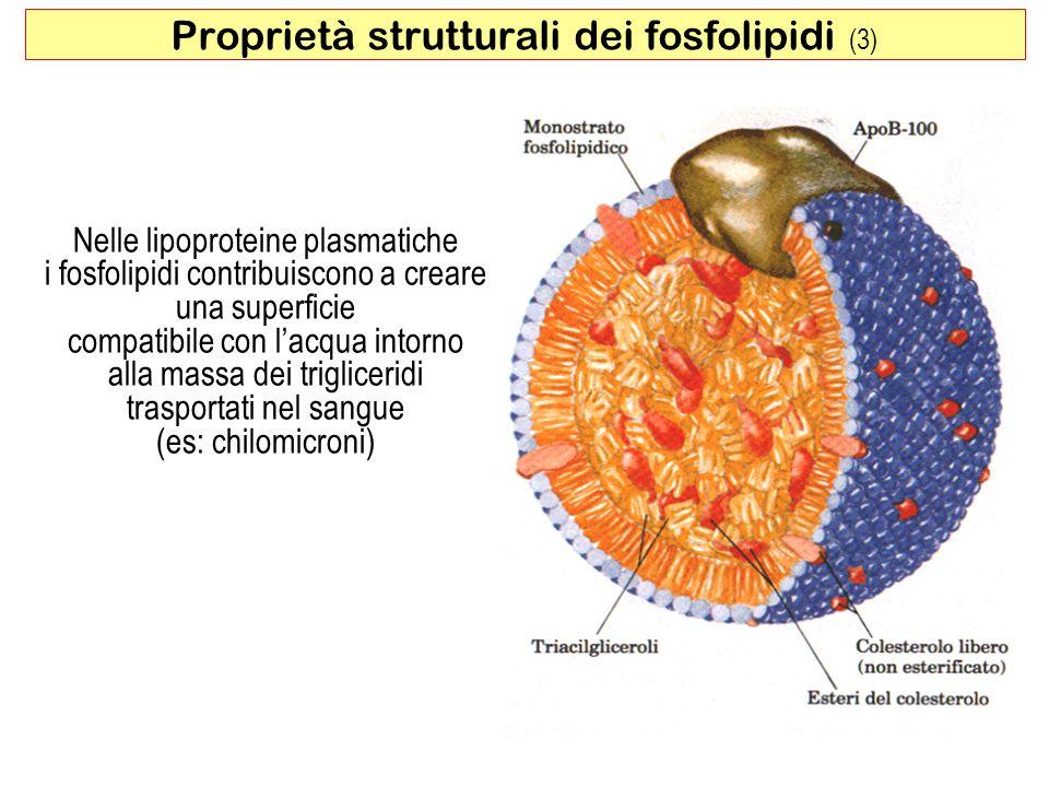 Nelle lipoproteine plasmatiche i fosfolipidi contribuiscono a creare una superficie compatibile con lacqua intorno alla massa dei trigliceridi trasportati nel sangue (es: chilomicroni) 29 Proprietà strutturali dei fosfolipidi (3)