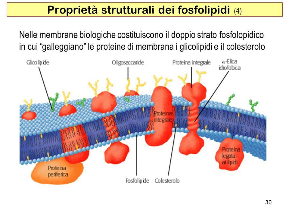 30 Proprietà strutturali dei fosfolipidi (4) Nelle membrane biologiche costituiscono il doppio strato fosfolopidico in cui galleggiano le proteine di membrana i glicolipidi e il colesterolo