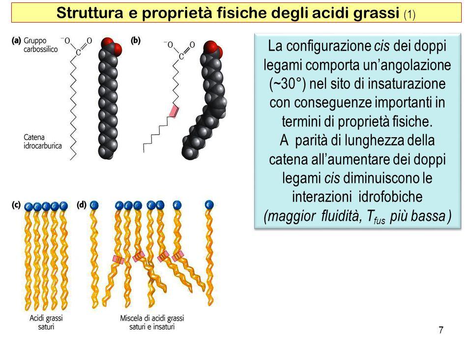 7 Struttura e proprietà fisiche degli acidi grassi (1) La configurazione cis dei doppi legami comporta unangolazione (~30°) nel sito di insaturazione con conseguenze importanti in termini di proprietà fisiche.