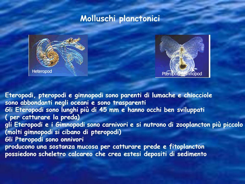 Eteropodi, pteropodi e gimnopodi sono parenti di lumache e chiocciole sono abbondanti negli oceani e sono trasparenti Gli Eteropodi sono lunghi più di