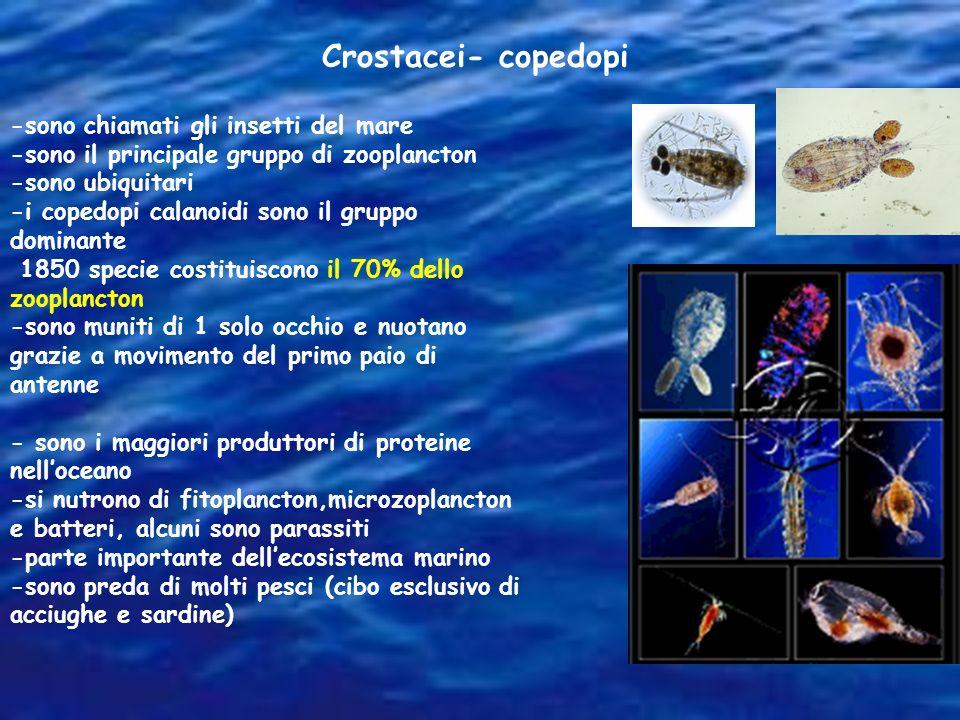 -sono chiamati gli insetti del mare -sono il principale gruppo di zooplancton -sono ubiquitari -i copedopi calanoidi sono il gruppo dominante 1850 spe