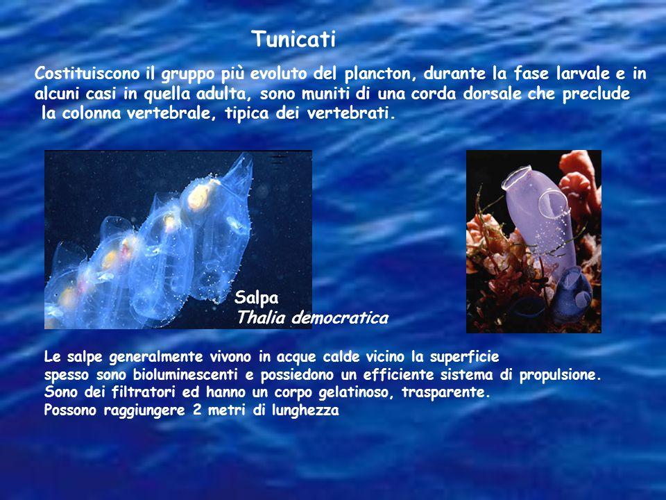 Tunicati Costituiscono il gruppo più evoluto del plancton, durante la fase larvale e in alcuni casi in quella adulta, sono muniti di una corda dorsale