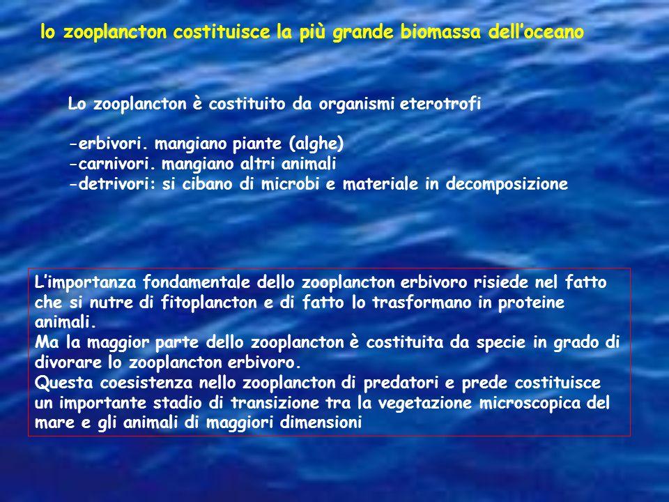 lo zooplancton costituisce la più grande biomassa delloceano Lo zooplancton è costituito da organismi eterotrofi -erbivori. mangiano piante (alghe) -c
