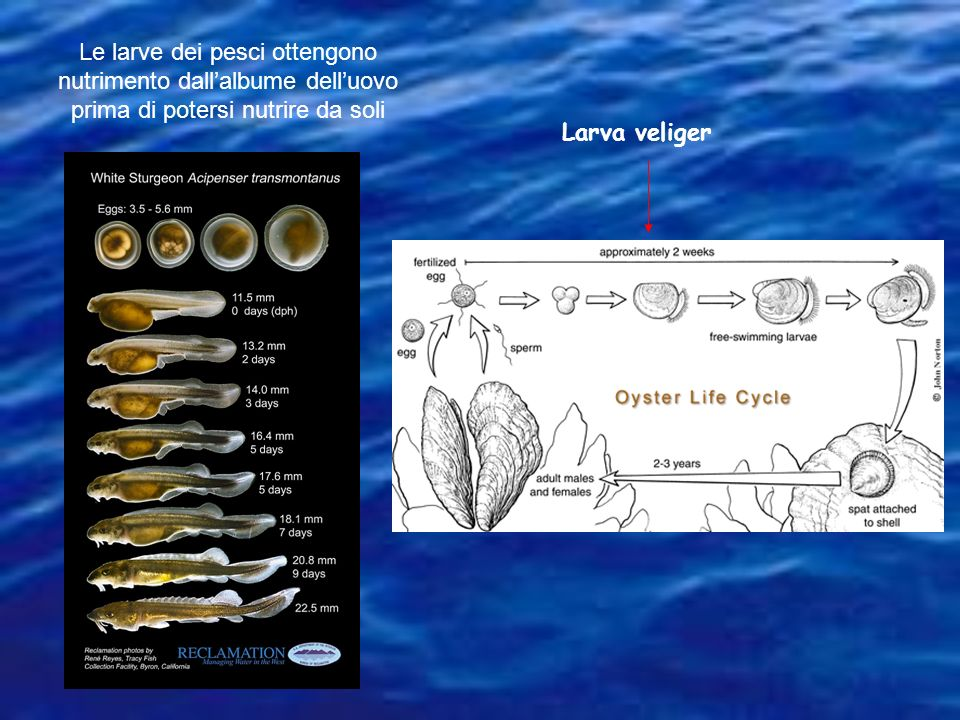 Le larve dei pesci ottengono nutrimento dallalbume delluovo prima di potersi nutrire da soli Larva veliger