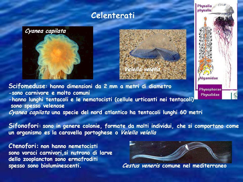 Scifomeduse : hanno dimensioni da 2 mm a metri di diametro -sono carnivore e molto comuni -hanno lunghi tentacoli e le nematocisti (cellule urticanti