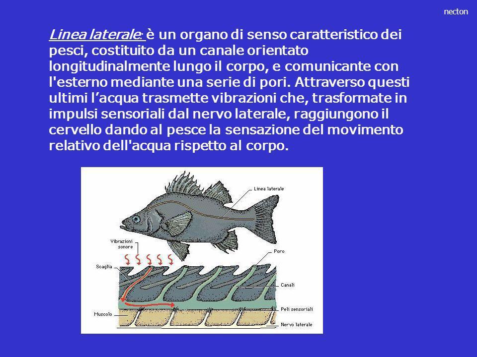 necton Linea laterale : è un organo di senso caratteristico dei pesci, costituito da un canale orientato longitudinalmente lungo il corpo, e comunican