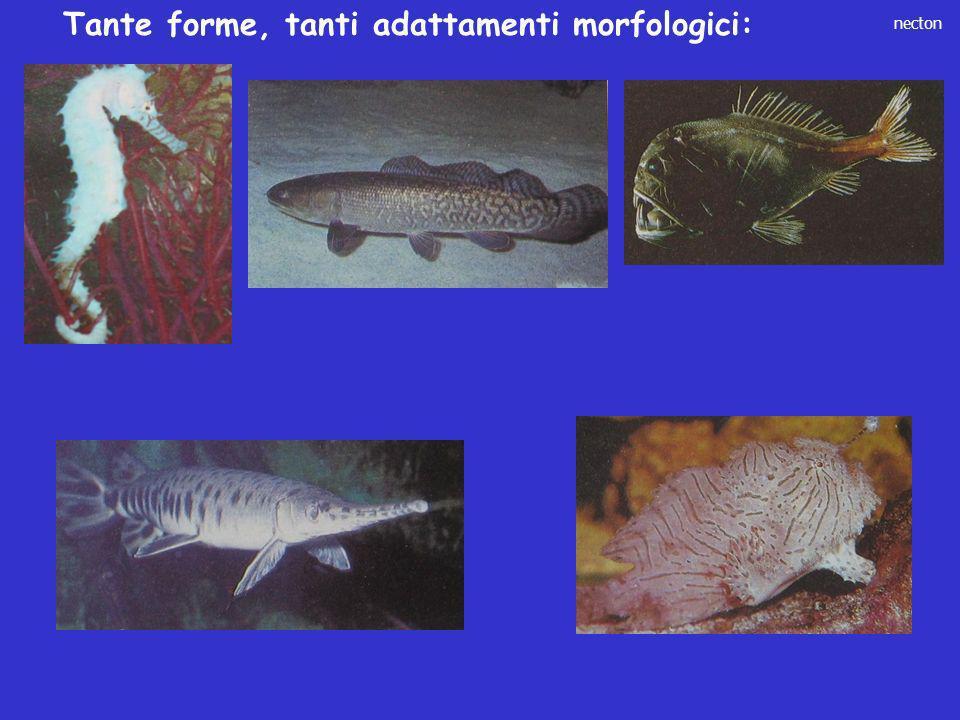 necton Tante forme, tanti adattamenti morfologici: