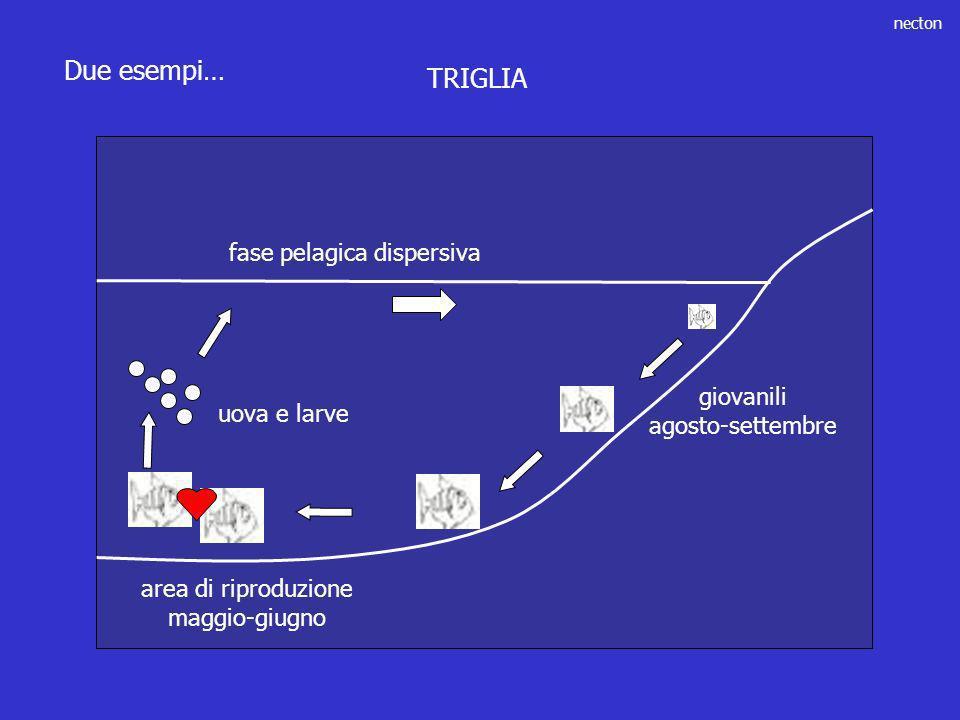 necton Due esempi… giovanili agosto-settembre area di riproduzione maggio-giugno uova e larve fase pelagica dispersiva TRIGLIA