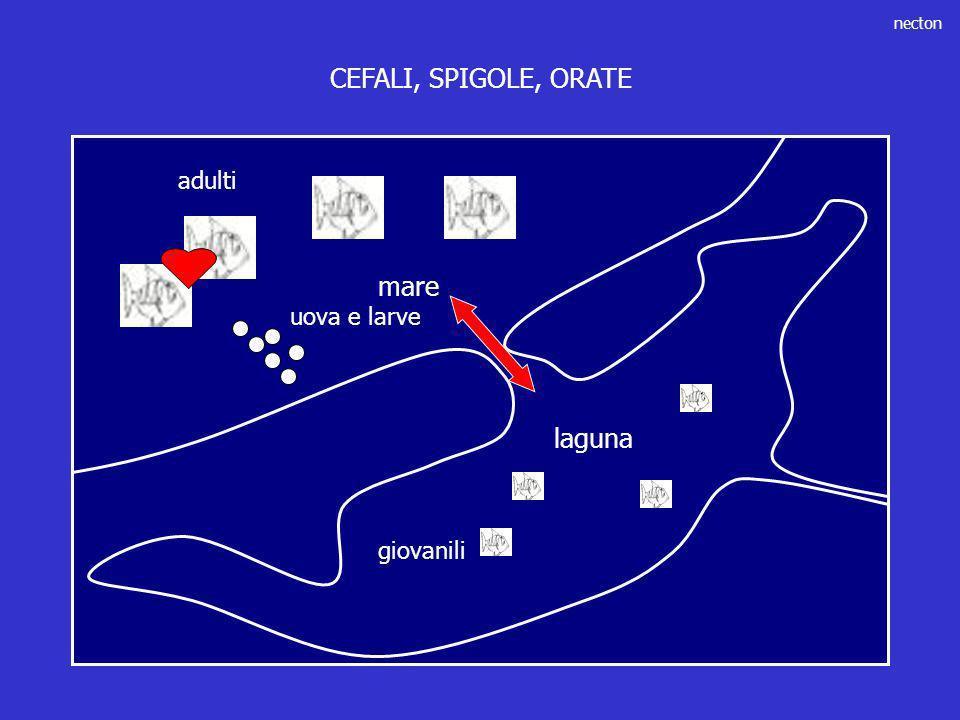 necton laguna mare giovanili adulti uova e larve CEFALI, SPIGOLE, ORATE