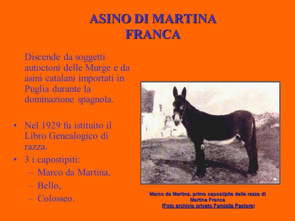 ASINO DI MARTINA FRANCA Discende da soggetti autoctoni delle Murge e da asini catalani importati in Puglia durante la dominazione spagnola.