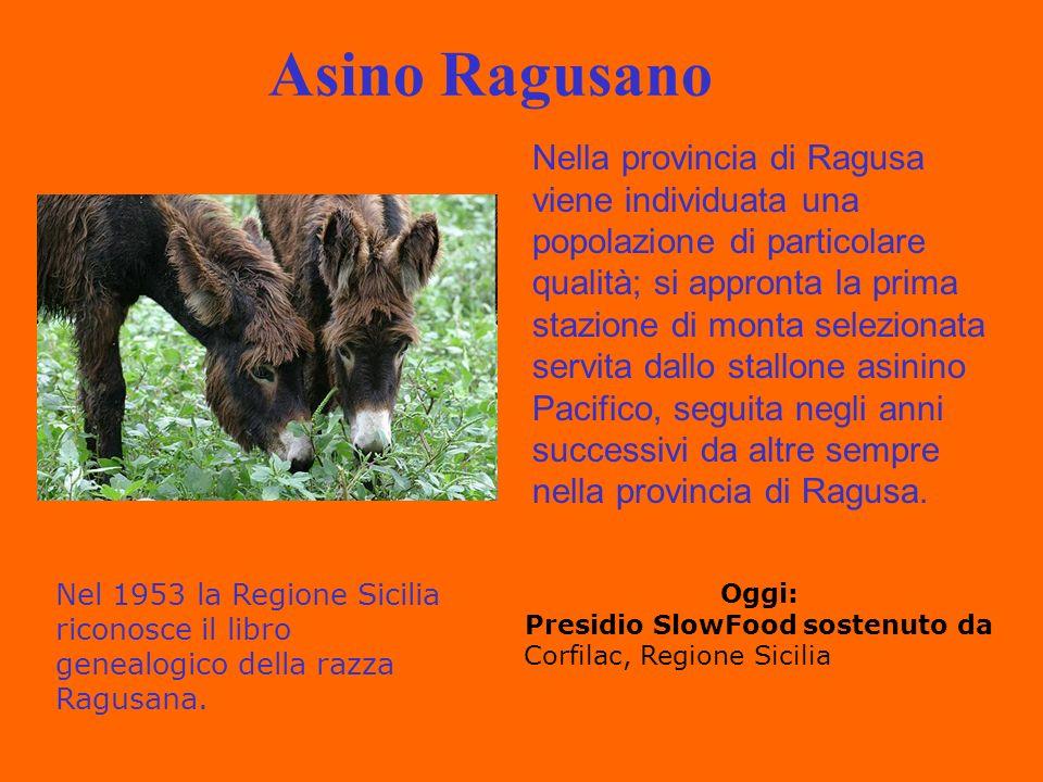 Asino Ragusano Nella provincia di Ragusa viene individuata una popolazione di particolare qualità; si appronta la prima stazione di monta selezionata servita dallo stallone asinino Pacifico, seguita negli anni successivi da altre sempre nella provincia di Ragusa.