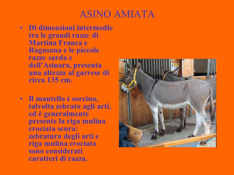 ASINO AMIATA Di dimensioni intermedie tra le grandi razze di Martina Franca e Ragusana e le piccole razze sarda e dell Asinara, presenta una altezza al garrese di circa 135 cm.