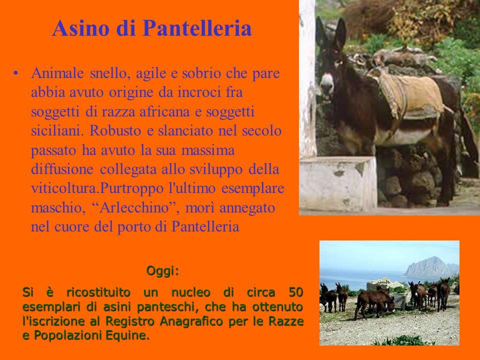 Asino di Pantelleria Animale snello, agile e sobrio che pare abbia avuto origine da incroci fra soggetti di razza africana e soggetti siciliani.