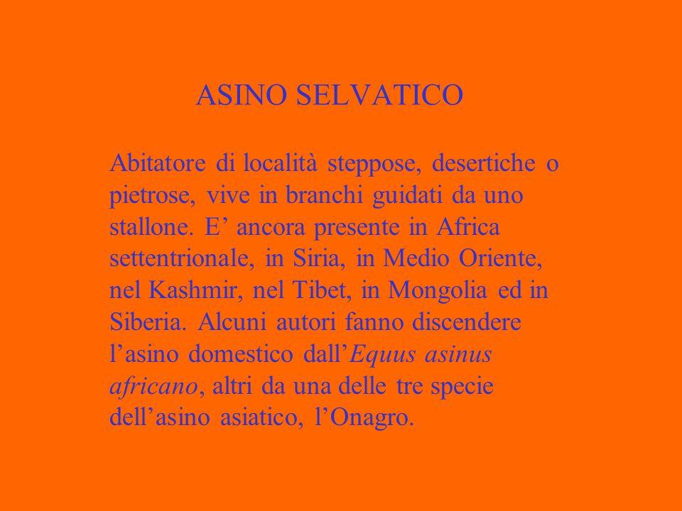ASINO SELVATICO Abitatore di località steppose, desertiche o pietrose, vive in branchi guidati da uno stallone.