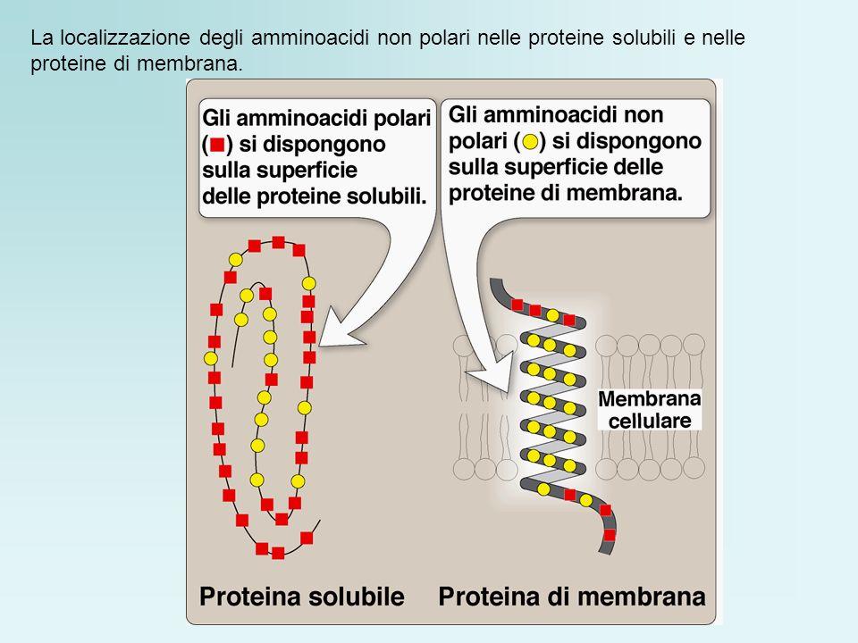 La localizzazione degli amminoacidi non polari nelle proteine solubili e nelle proteine di membrana.