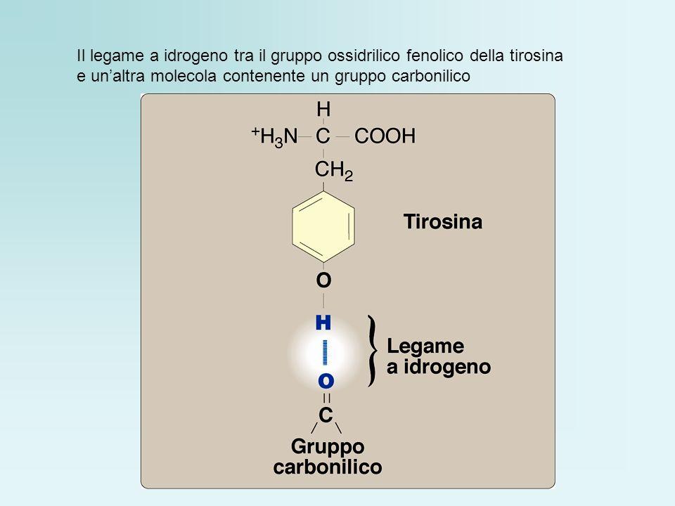 Il legame a idrogeno tra il gruppo ossidrilico fenolico della tirosina e unaltra molecola contenente un gruppo carbonilico