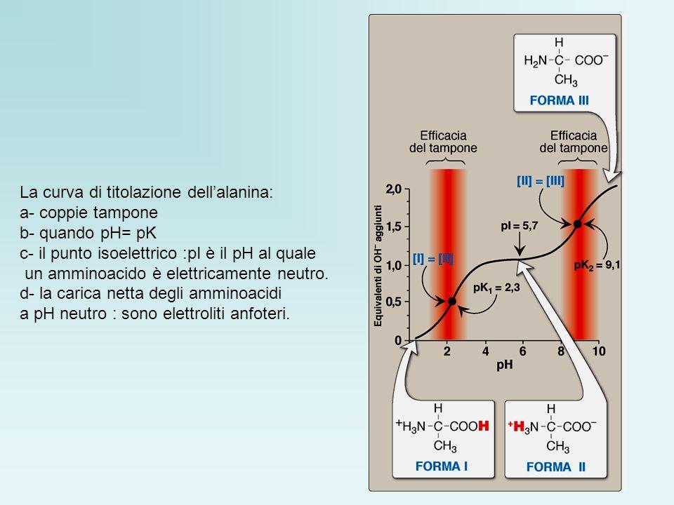 La curva di titolazione dellalanina: a- coppie tampone b- quando pH= pK c- il punto isoelettrico :pI è il pH al quale un amminoacido è elettricamente