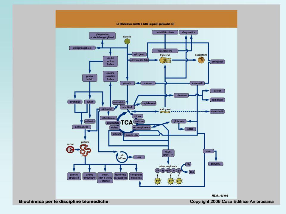 Le proprietà acide e basiche degli amminoacidi Equazione di Henderson-Hasselbalch: acido deboleprotone base coniugata
