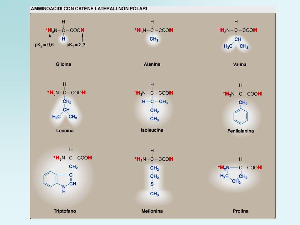 Confronto tra il gruppo imminico della prolina e i gruppi α-amminici di altri amminoacidi, per esempio lalanina.