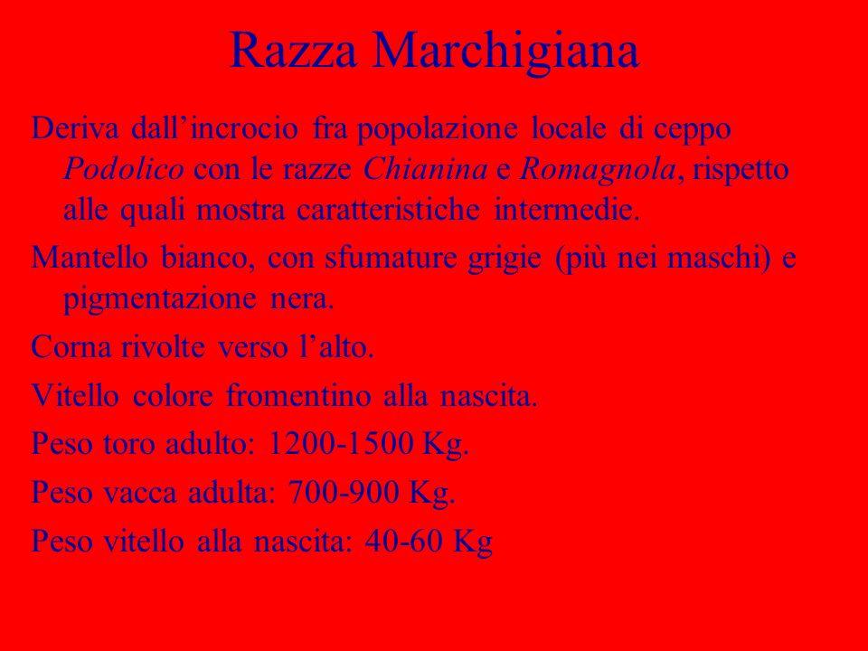 Razza Marchigiana Deriva dallincrocio fra popolazione locale di ceppo Podolico con le razze Chianina e Romagnola, rispetto alle quali mostra caratteri