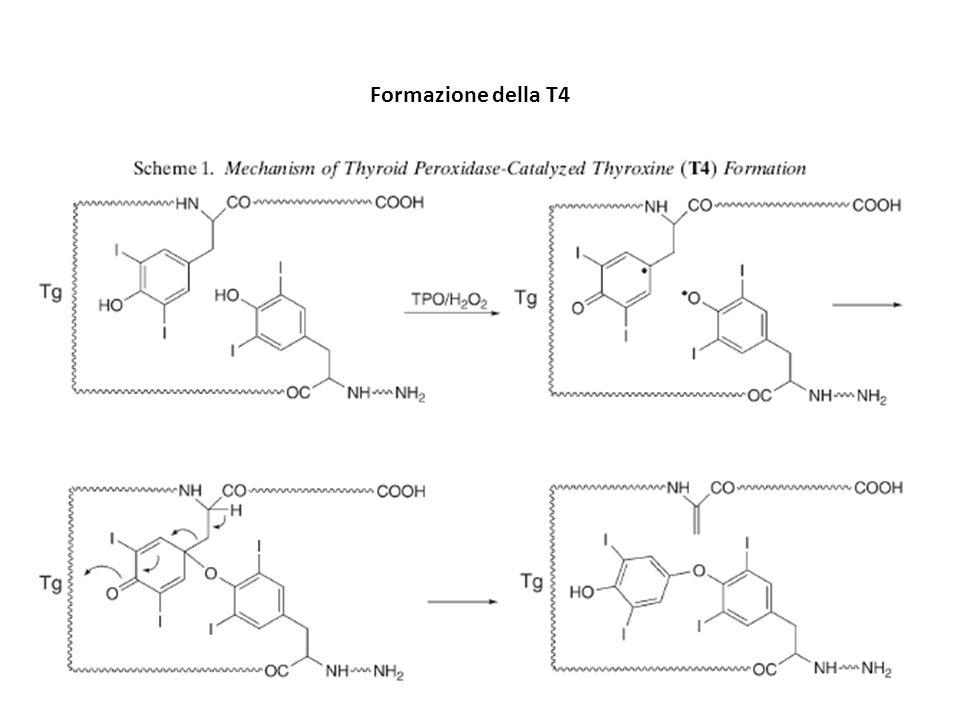 Metabolismo della T4