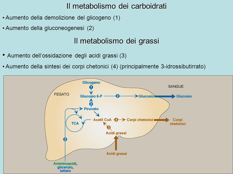 Il metabolismo dei carboidrati Aumento della demolizione del glicogeno (1) Aumento della gluconeogenesi (2) Il metabolismo dei grassi Aumento dellossi
