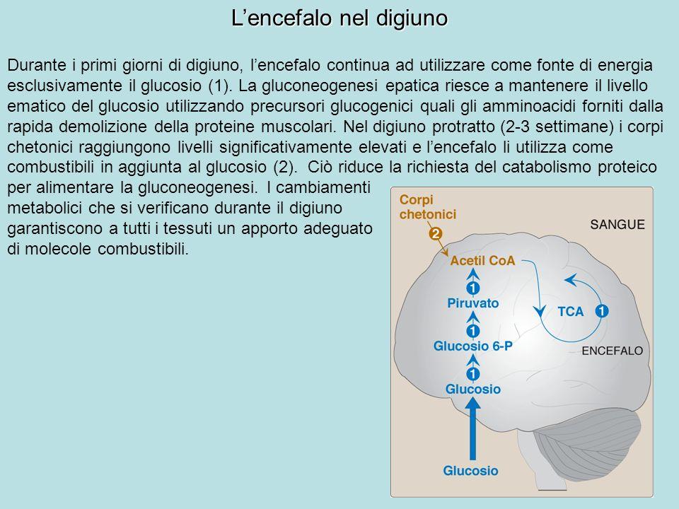 Lencefalo nel digiuno Durante i primi giorni di digiuno, lencefalo continua ad utilizzare come fonte di energia esclusivamente il glucosio (1). La glu