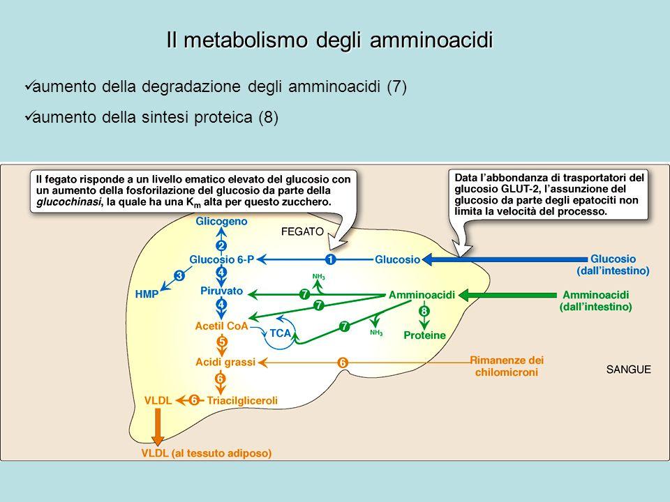 I cambiamenti enzimatici nel digiuno Anche nel digiuno il flusso di intermedi lungo le vie del metabolismo intermedio è controllato da quattro meccanismi: 1.la disponibilità dei substrati 2.lattivazione o linibizione allosterica di enzimi 3.la modificazione covalente di enzimi 4.linduzione o la repressione della sintesi di enzimi Enzimi: stato fosforilato (inattivi) Eccezioni: glicogeno fosforilasi, fruttosio bisfosfato fosfatasi-2 e lipasi sensibile agli ormoni del tessuto adiposo, sono inattive nello stato defosforilato Molte delle modificazioni osservate nel digiuno sono lopposto di quelle che si verificano in condizione di apporto di nutrienti.