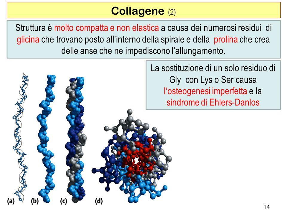 Collagene (2) 14 Struttura è molto compatta e non elastica a causa dei numerosi residui di glicina che trovano posto allinterno della spirale e della