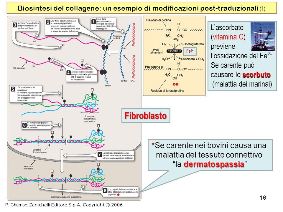 16 Biosintesi del collagene: un esempio di modificazioni post-traduzionali (1) P. Champe, Zanichelli Editore S.p.A. Copyright © 2006 Fe 2+ Lascorbato