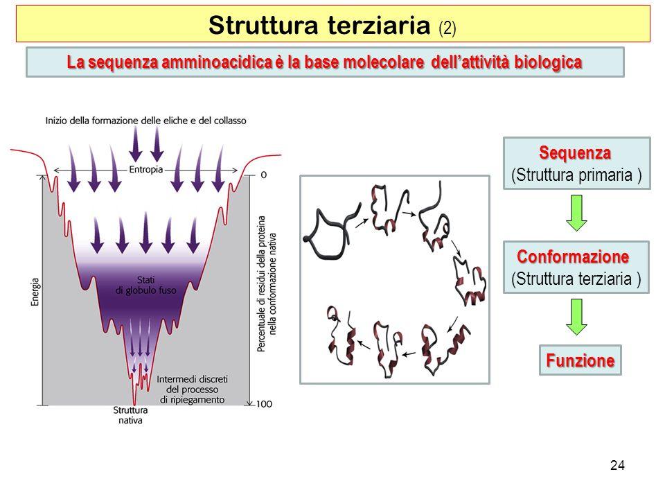 Struttura terziaria (2) 24 La sequenza amminoacidica è la base molecolare dellattività biologica Sequenza (Struttura primaria ) Conformazione (Struttu