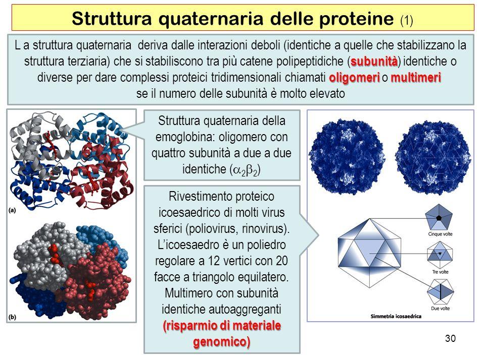 30 Struttura quaternaria delle proteine (1) L a struttura quaternaria deriva dalle interazioni deboli (identiche a quelle che stabilizzano la subunità