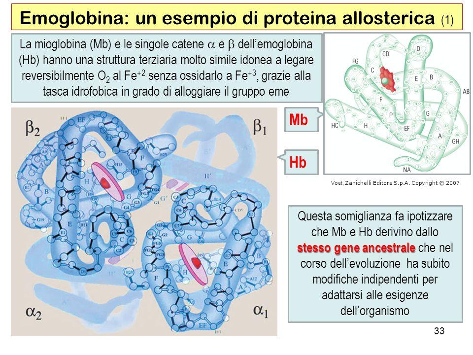 Emoglobina: un esempio di proteina allosterica (1) La mioglobina (Mb) e le singole catene e dellemoglobina (Hb) hanno una struttura terziaria molto si