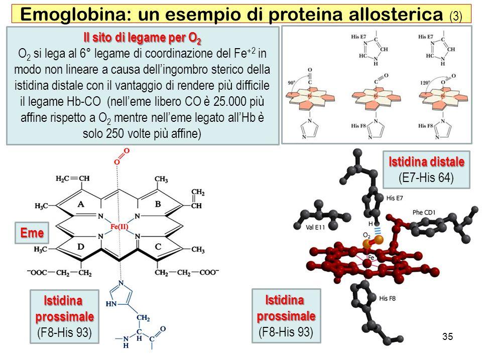 Istidina distale (E7-His 64) 35 Emoglobina: un esempio di proteina allosterica (3) Istidinaprossimale (F8-His 93) Eme Il sito di legame per O 2 O 2 si