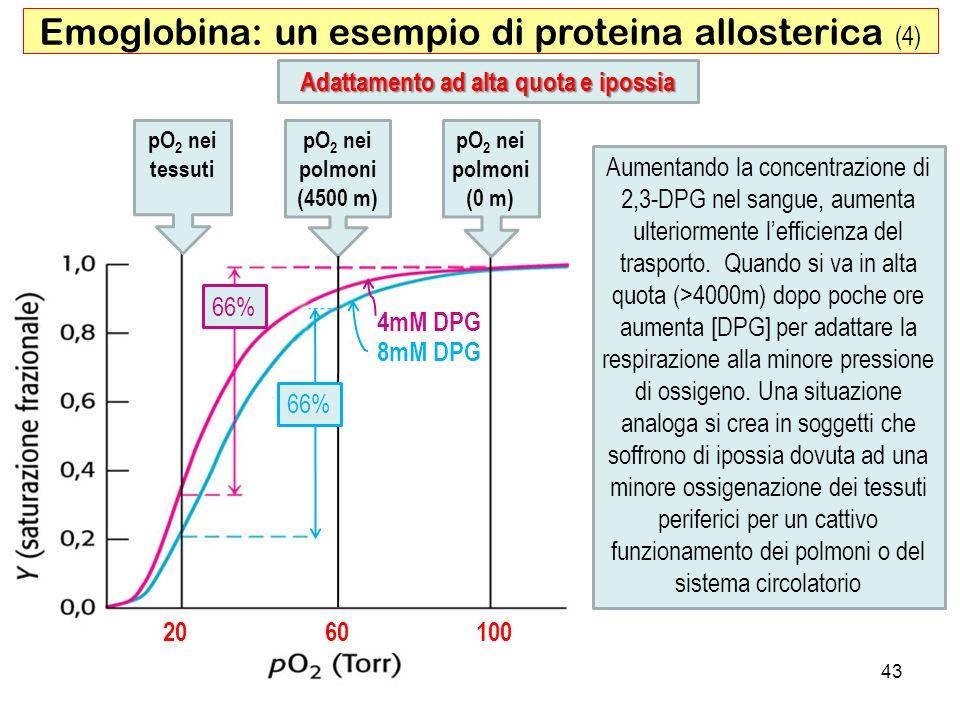 43 Emoglobina: un esempio di proteina allosterica (4) Adattamento ad alta quota e ipossia 20 60 100 4mM DPG 8mM DPG pO 2 nei polmoni (0 m) pO 2 nei po