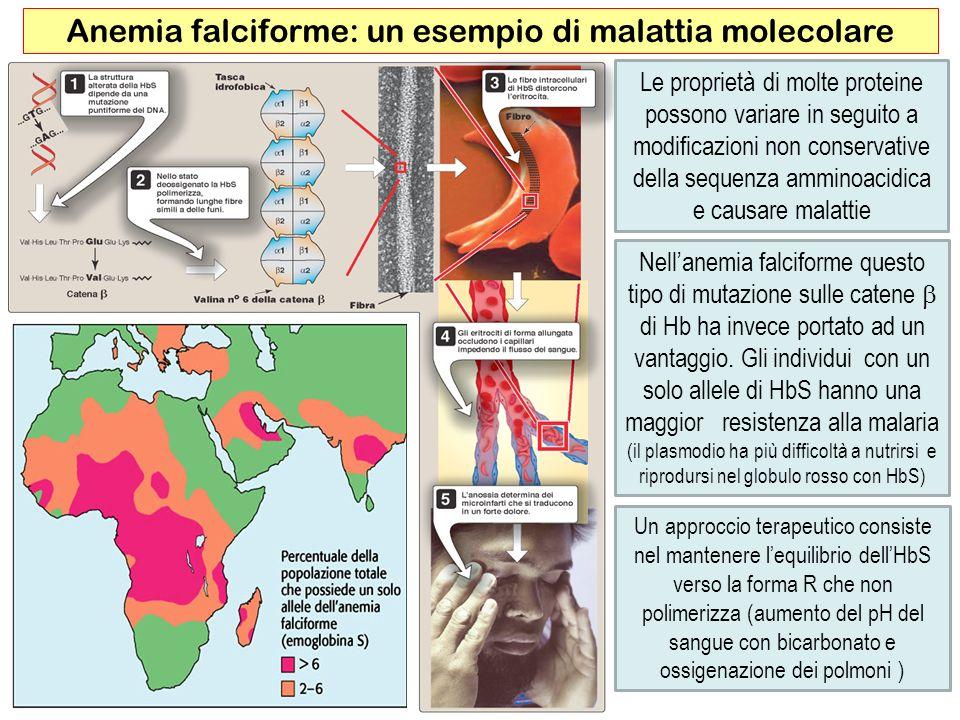 45 Anemia falciforme: un esempio di malattia molecolare Le proprietà di molte proteine possono variare in seguito a modificazioni non conservative del