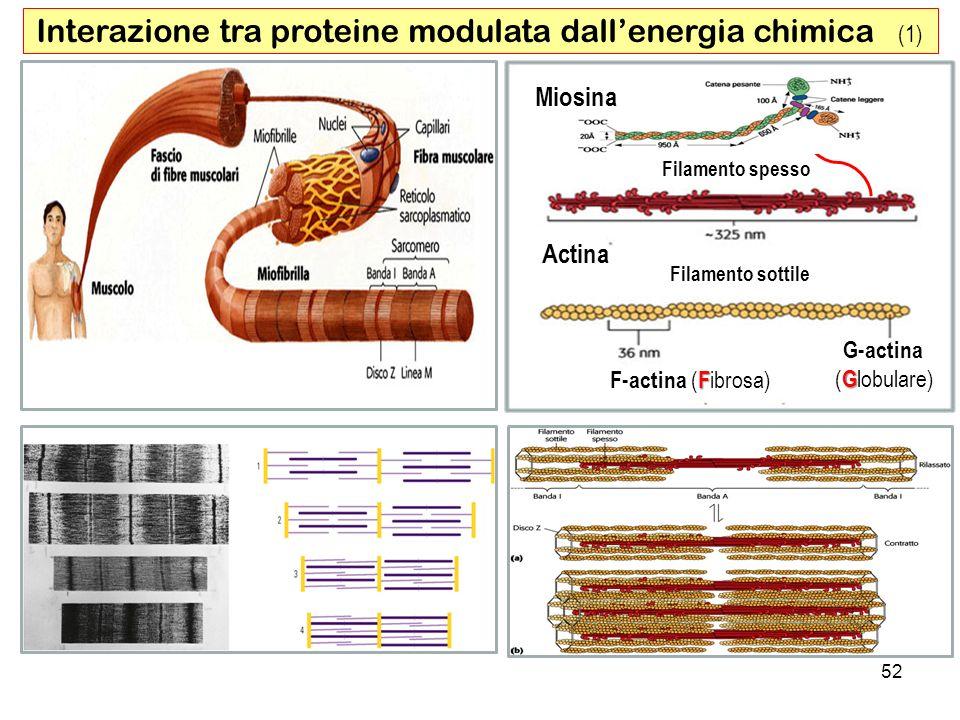 52 Interazione tra proteine modulata dallenergia chimica (1) Filamento spesso Filamento sottile F F-actina ( F ibrosa) Miosina G-actina G ( G lobulare