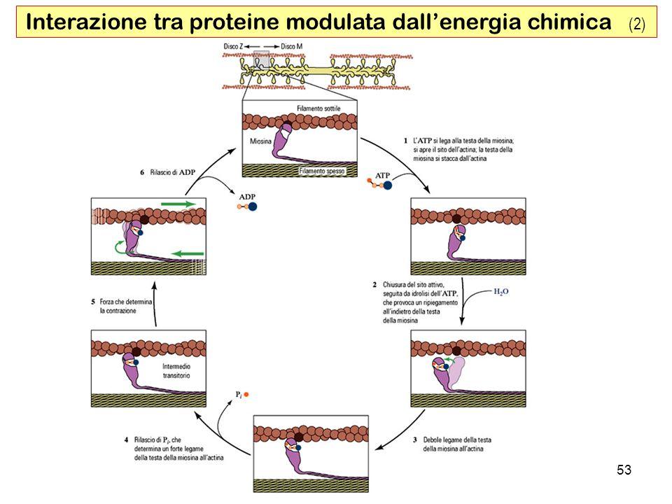 53 Interazione tra proteine modulata dallenergia chimica (2)