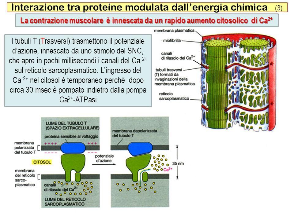 54 Interazione tra proteine modulata dallenergia chimica (3) La contrazione muscolare è innescata da un rapido aumento citosolico di Ca 2+ I tubuli T