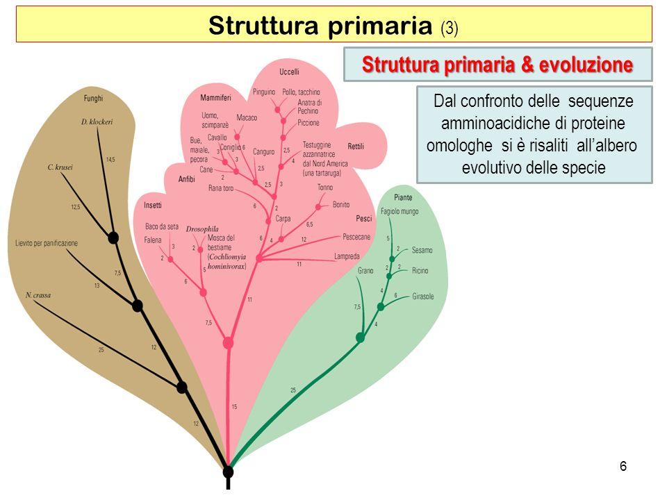 Struttura primaria (3) Struttura primaria & evoluzione Dal confronto delle sequenze amminoacidiche di proteine omologhe si è risaliti allalbero evolut