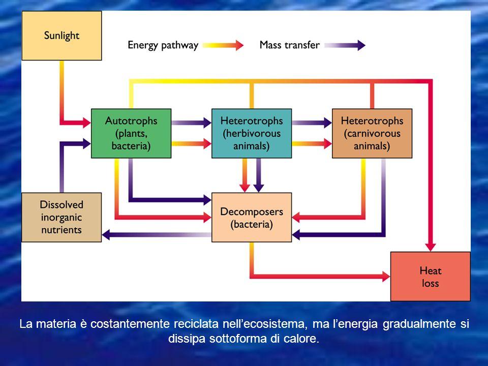 In questo schema la linea rossa rappresenta il trasferimento dell'energia chimica (cioè del cibo) dai produttori primari (1) che l'hanno sintetizzata