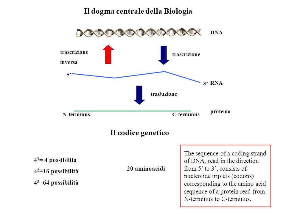 Il codice genetico Il dogma centrale della Biologia DNA RNA proteina trascrizione inversa traduzione 4 1 = 4 possibilità 4 2 =16 possibilità 4 3 =64 p