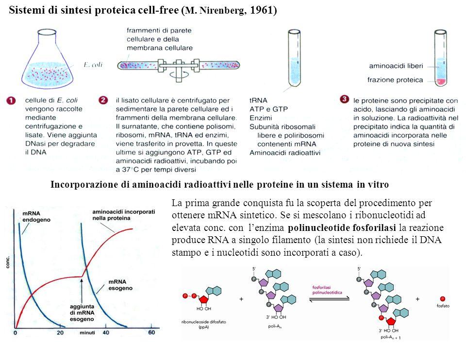 Sistemi di sintesi proteica cell-free ( M. Nirenberg, 1961) Incorporazione di aminoacidi radioattivi nelle proteine in un sistema in vitro La prima gr