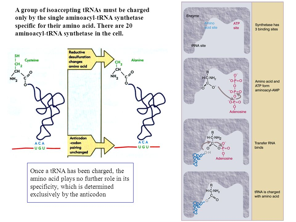Nonsense mutations suppression (intergenic suppression) There are 3 separate genes coding for tRNA Tyr Frameshift mutations suppression (intragenic suppression) Stop codon Base mutata