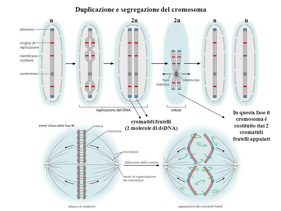 Duplicazione e segregazione del cromosoma n 2n 2n n n In questa fase il cromosoma è costituito dai 2 cromatidi fratelli appaiati cromatidi fratelli (2