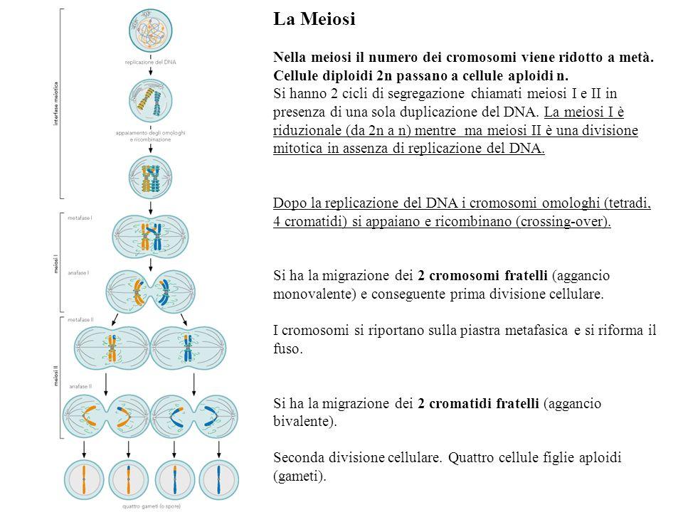La Meiosi Nella meiosi il numero dei cromosomi viene ridotto a metà. Cellule diploidi 2n passano a cellule aploidi n. Si hanno 2 cicli di segregazione