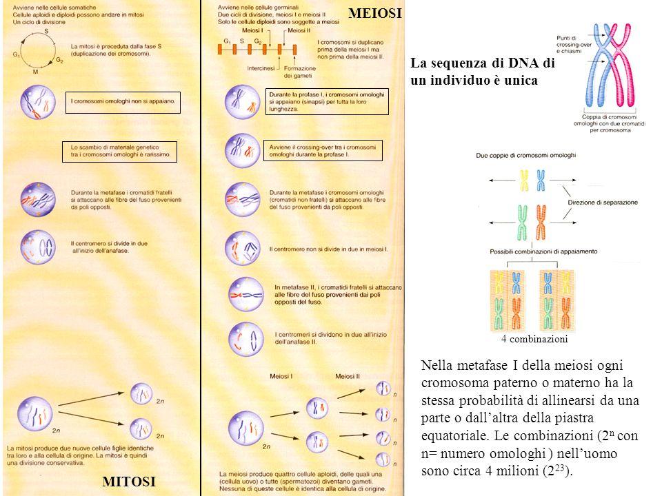 MITOSI MEIOSI Nella metafase I della meiosi ogni cromosoma paterno o materno ha la stessa probabilità di allinearsi da una parte o dallaltra della pia