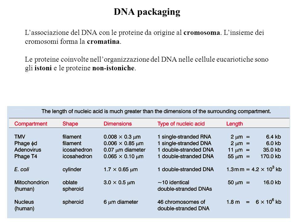 DNA packaging Lassociazione del DNA con le proteine da origine al cromosoma. Linsieme dei cromosomi forma la cromatina. Le proteine coinvolte nellorga