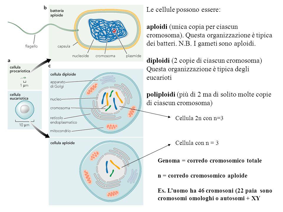 Le cellule possono essere: aploidi (unica copia per ciascun cromosoma). Questa organizzazione è tipica dei batteri. N.B. I gameti sono aploidi. diploi