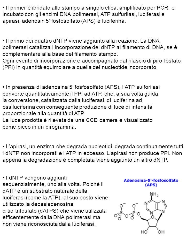 + DNA polimerasi, apirasi + ATP sulforilasi + luciferasi Man mano che il processo continua, il filamento di DNA complementare è sintetizzato e la sequenza nucleotidica è determinata dai picchi del pirogramma ( ~ 300 basi).